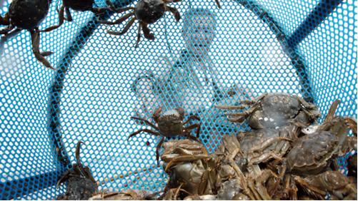 大电商们围猎大闸蟹  蟹农:我们并不需要靠他们